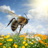 Μέλισσα που πετά πέρα από το ζωηρόχρωμο τομέα λουλουδιών Στοκ Εικόνα