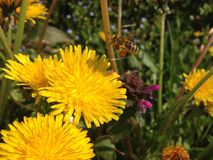Μέλισσα που πετά προς το λουλούδι Στοκ Φωτογραφία