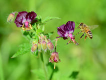 Μέλισσα που πετά σε σκοτεινό Cranesbills Στοκ φωτογραφίες με δικαίωμα ελεύθερης χρήσης
