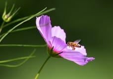 Μέλισσα που προσγειώνει στο πορφυρό λουλούδι κόσμου στοκ φωτογραφία με δικαίωμα ελεύθερης χρήσης