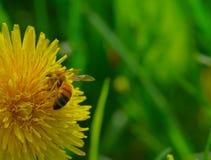 Μέλισσα που στηρίζεται σε μια πικραλίδα Στοκ φωτογραφίες με δικαίωμα ελεύθερης χρήσης