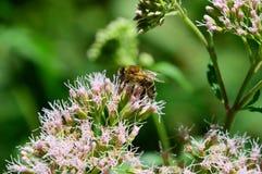 Μέλισσα που συνδέεται για να ανθίσει τη γύρη στοκ εικόνες