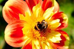 Μέλισσα που συλλέγει τη γύρη από την ντάλια Στοκ εικόνα με δικαίωμα ελεύθερης χρήσης