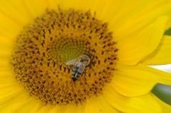 μέλισσα που συλλέγει τη γύρη μελιού στοκ φωτογραφίες