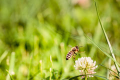 Μέλισσα που συλλέγει τη γύρη λουλουδιών Στοκ φωτογραφία με δικαίωμα ελεύθερης χρήσης