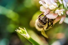 Μέλισσα που συλλέγει τη γύρη λουλουδιών Στοκ εικόνα με δικαίωμα ελεύθερης χρήσης