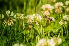 Μέλισσα που συλλέγει τη γύρη λουλουδιών Στοκ Εικόνα
