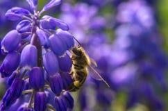 μέλισσα που συλλέγει τη Στοκ εικόνα με δικαίωμα ελεύθερης χρήσης