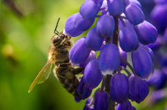 μέλισσα που συλλέγει τη Στοκ Φωτογραφία