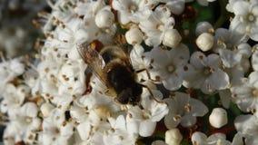 Μέλισσα που συλλέγει το νέκταρ στο άσπρο λουλούδι Στοκ Εικόνα