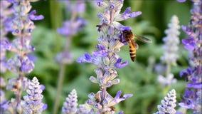 Μέλισσα που συλλέγει το νέκταρ στο ανθίζοντας Lavender λουλούδι φιλμ μικρού μήκους