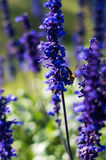 Μέλισσα που ψάχνει το μέλι Στοκ εικόνες με δικαίωμα ελεύθερης χρήσης