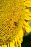 Μέλισσα σε έναν ηλίανθο Στοκ Εικόνα