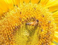 Μέλισσα σε έναν ηλίανθο Στοκ Φωτογραφία