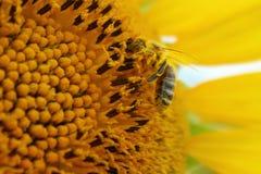 Μέλισσα σε έναν ηλίανθο Στοκ Φωτογραφίες