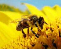Μέλισσα σε έναν ηλίανθο Στοκ εικόνα με δικαίωμα ελεύθερης χρήσης