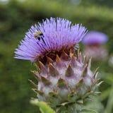 Μέλισσα στον κάρδο στοκ φωτογραφία με δικαίωμα ελεύθερης χρήσης