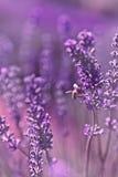 Μέλισσα σε έναν lavender θάμνο Στοκ Φωτογραφία