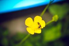 Μέλισσα σε ένα κίτρινες λουλούδι και μια χλόη Στοκ Εικόνες