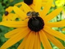 Μέλισσα σε ένα κίτρινο λουλούδι Στοκ Εικόνα