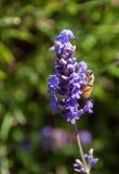 Μέλισσα σε ένα κλαδάκι lavender Στοκ εικόνα με δικαίωμα ελεύθερης χρήσης