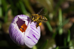 Μέλισσα σε ένα λουλούδι κρόκων Στοκ εικόνα με δικαίωμα ελεύθερης χρήσης