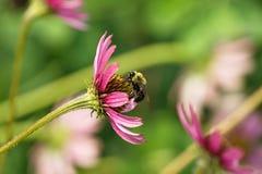 Μέλισσα σε ένα λουλούδι κώνων Στοκ Φωτογραφίες