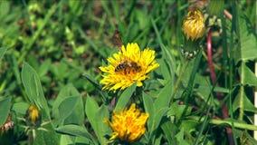 Μέλισσα σε ένα λουλούδι απόθεμα βίντεο