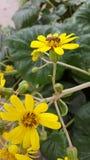 Μέλισσα σε ένα λουλούδι Στοκ Εικόνες