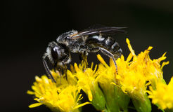 Μέλισσα σε ένα λουλούδι στοκ φωτογραφίες με δικαίωμα ελεύθερης χρήσης