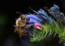 Μέλισσα σε ένα λουλούδι στοκ εικόνες με δικαίωμα ελεύθερης χρήσης
