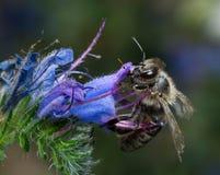 Μέλισσα σε ένα λουλούδι Στοκ φωτογραφία με δικαίωμα ελεύθερης χρήσης