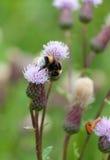 Μέλισσα σε ένα λουλούδι Στοκ Εικόνα