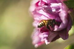 Μέλισσα σε ένα ρόδινο λουλούδι Στοκ φωτογραφία με δικαίωμα ελεύθερης χρήσης
