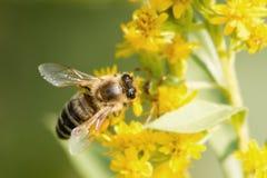 Μέλισσα σε ένα τρεμάμενο λουλούδι Στοκ Φωτογραφία