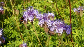 Μέλισσα σε ένα lavender λουλούδι απόθεμα βίντεο
