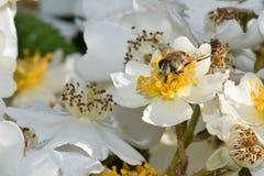 Μέλισσα σε κίτρινο Στοκ φωτογραφία με δικαίωμα ελεύθερης χρήσης