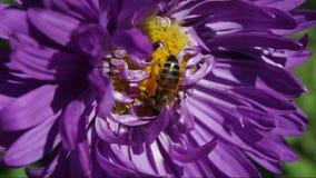 Μέλισσα σε μια κινηματογράφηση σε πρώτο πλάνο λουλουδιών απόθεμα βίντεο