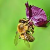 Μέλισσα σε σκοτεινό Cranesbills Στοκ φωτογραφία με δικαίωμα ελεύθερης χρήσης