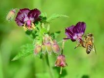 Μέλισσα σε σκοτεινό Cranesbills Στοκ εικόνες με δικαίωμα ελεύθερης χρήσης