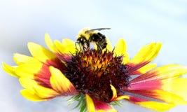 Μέλισσα σε Gloriosa Daisy στοκ εικόνα με δικαίωμα ελεύθερης χρήσης