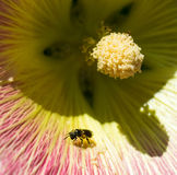 Μέλισσα σε Hollyhock Στοκ φωτογραφία με δικαίωμα ελεύθερης χρήσης
