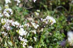 Μέλισσα σε WildFlowers Στοκ Φωτογραφίες