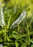 Μέλισσα στα άσπρα λουλούδια Στοκ Εικόνα