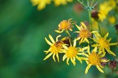 Μέλισσα στα κίτρινα λουλούδια Στοκ φωτογραφία με δικαίωμα ελεύθερης χρήσης