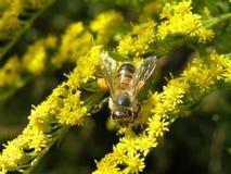 Μέλισσα στα κίτρινα λουλούδια Στοκ φωτογραφίες με δικαίωμα ελεύθερης χρήσης