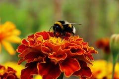 Μέλισσα στα κόκκινα λουλούδια Στοκ Φωτογραφία