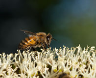 Μέλισσα στα λουλούδια δέντρων χλόης, Xanthorrhoea Στοκ Φωτογραφία