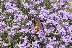 Μέλισσα στα λουλούδια θυμαριού, Κρήτη Στοκ Φωτογραφίες