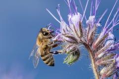 Μέλισσα στα λουλούδια Στοκ εικόνες με δικαίωμα ελεύθερης χρήσης